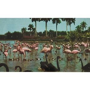 1959 Flamingos Black Swans Hialeah Race Course FL